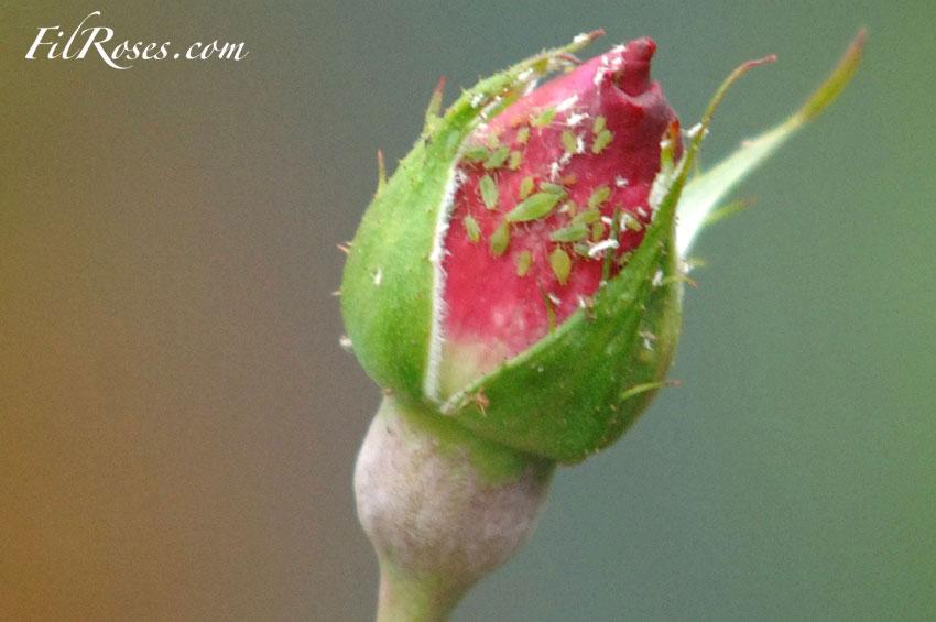 La pulv risation des rosiers - Produit naturel contre les pucerons ...