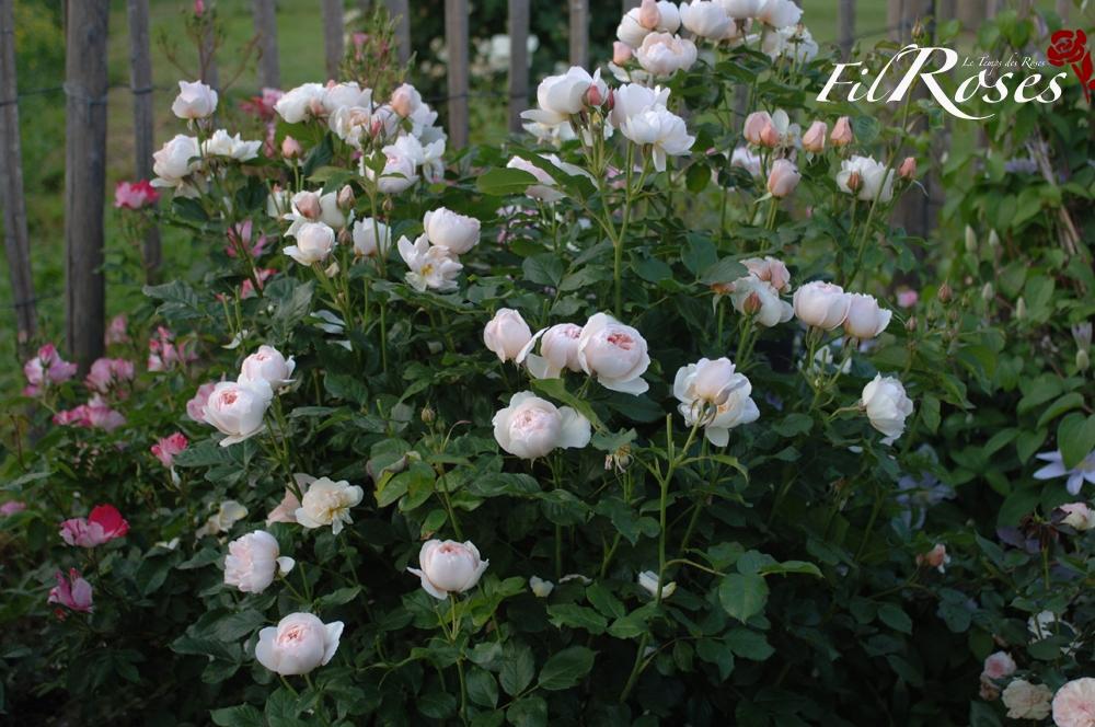 Роза английская выращивание и уход в 624