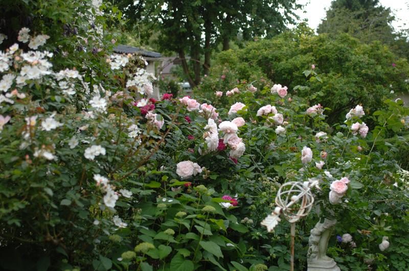 Entretien des rosiers et engrais fil roses - Rouille rosier traitement naturel ...