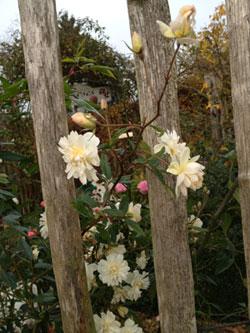 Prot ger ses rosiers pour l 39 hiver et planter ses racines - Deplacer un rosier ...