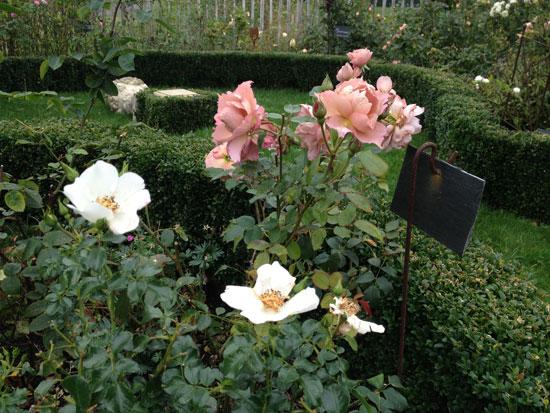 prot ger ses rosiers pour l 39 hiver et planter ses racines nues filroses le temps des roses. Black Bedroom Furniture Sets. Home Design Ideas