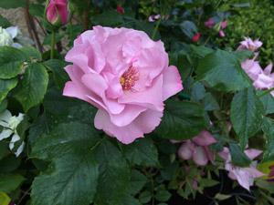 Rosa Odyssey