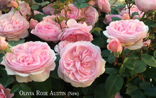 Rosa-Olivia-Rose-Austin