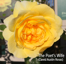 The Poets Wife
